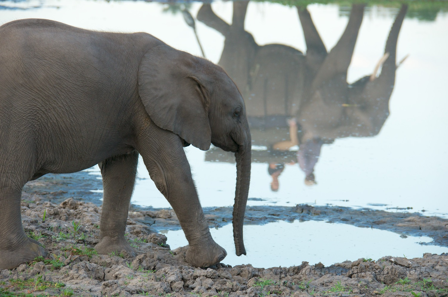 Getting a drink and catching the reflection of an elephant walking.
