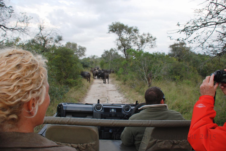 We spot a buffalo herd.
