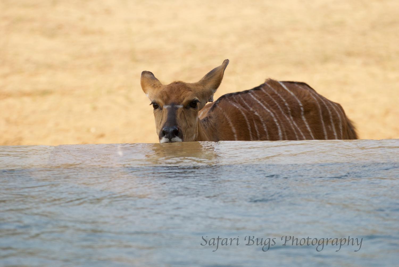 Female Nyala drinking at our plunge pool.