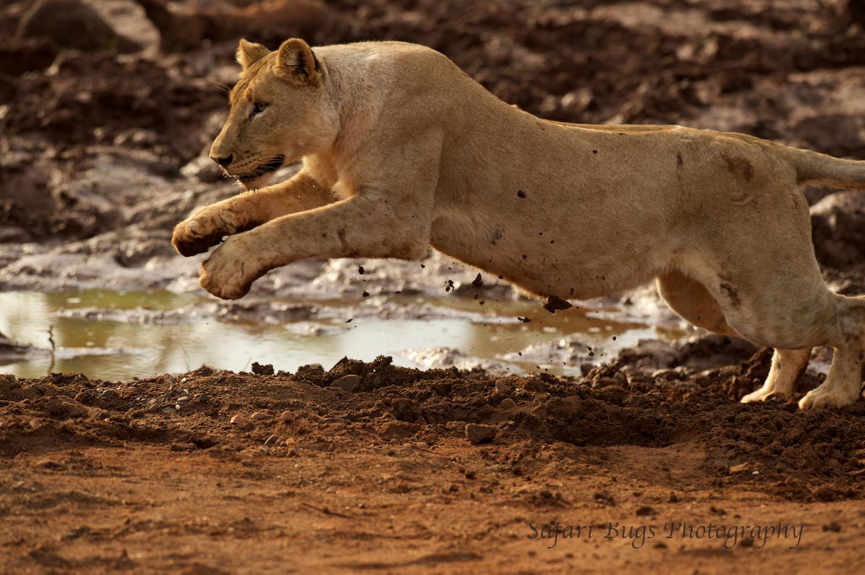 Subadult Lion