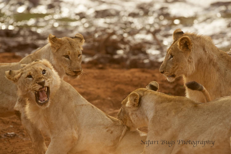 Subadult Lions