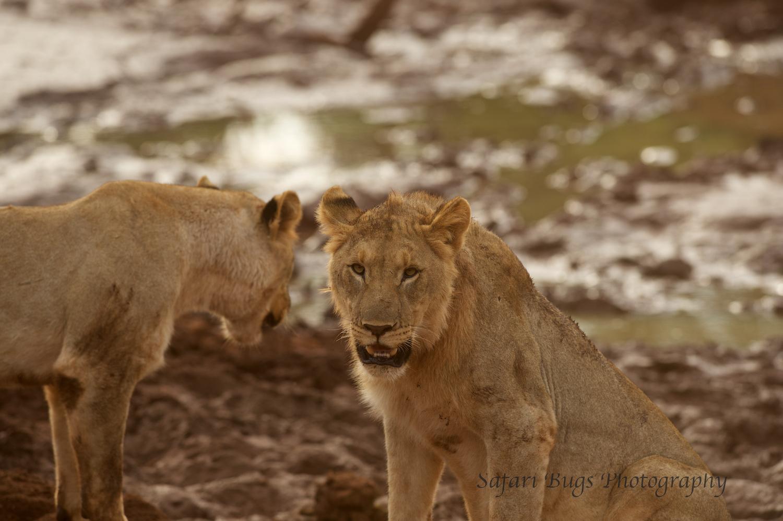 Subadult Male Lions