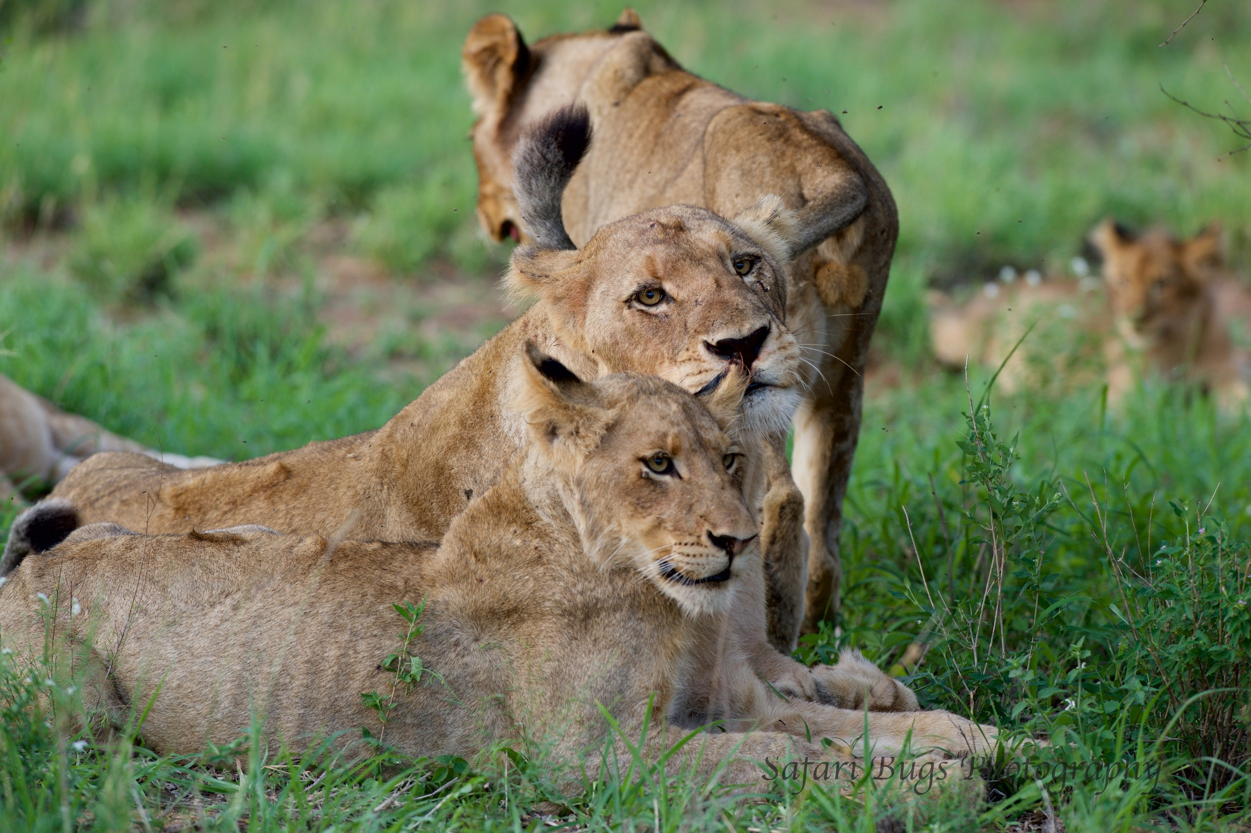 Lion Cub with Mom