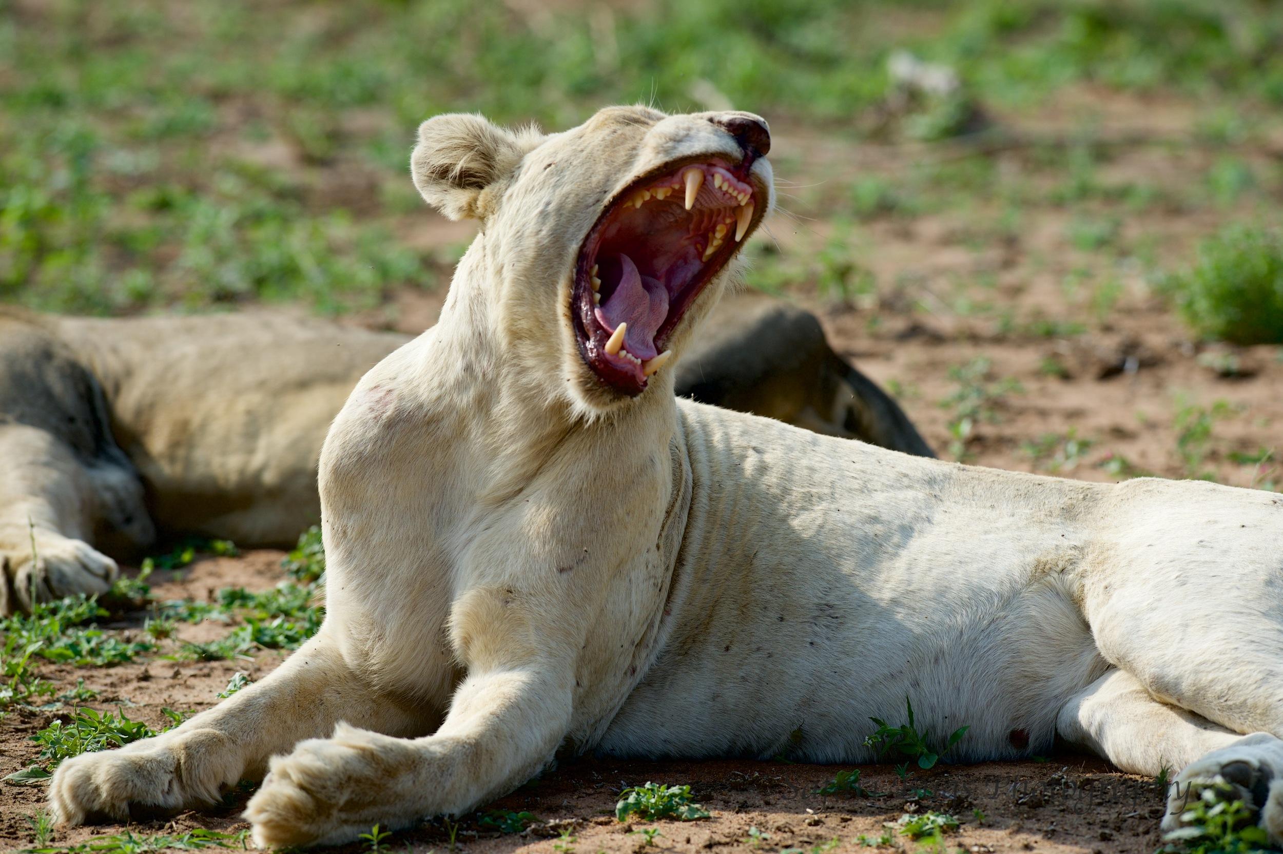 White Lioness Yawning