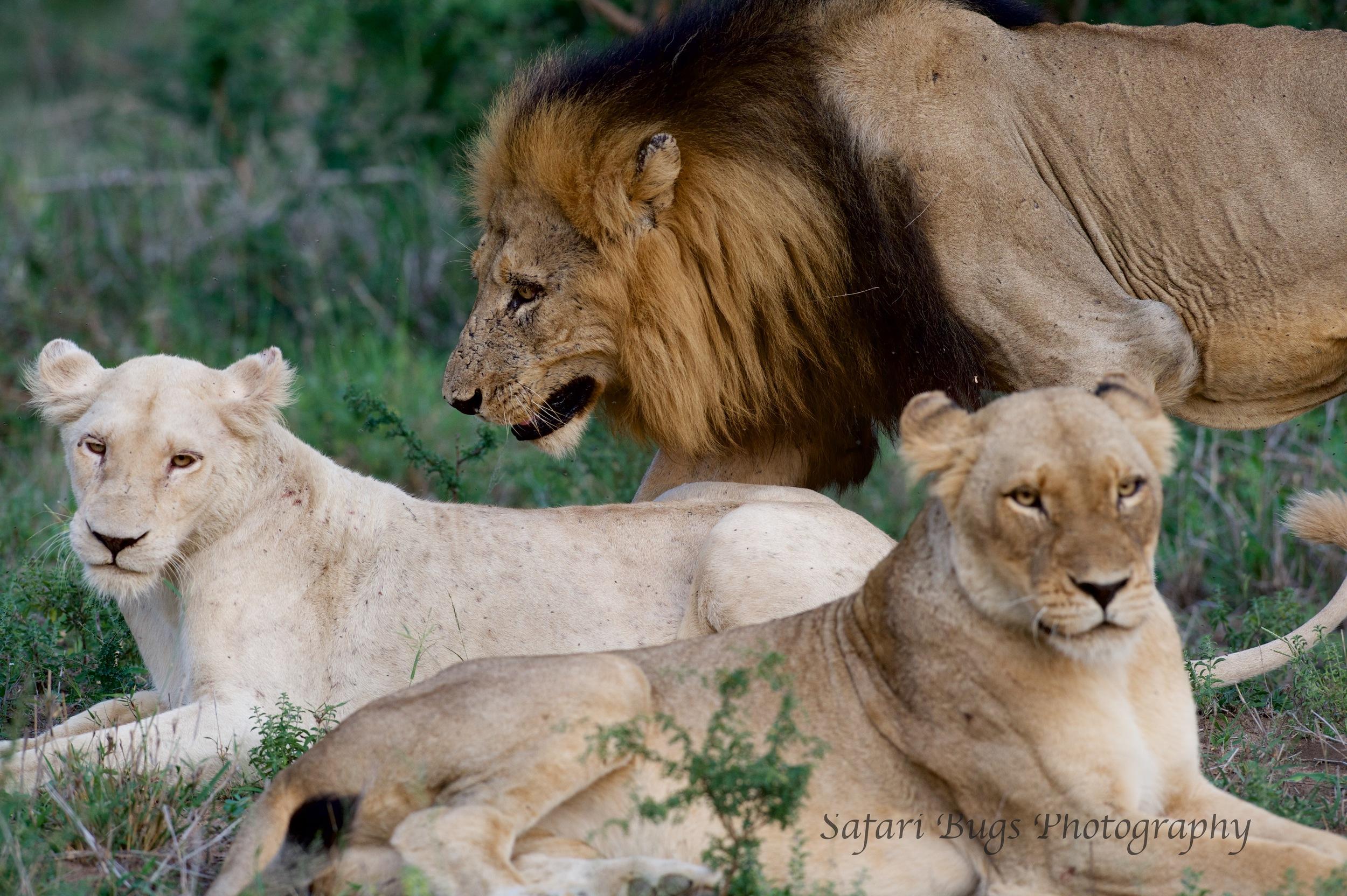 Adult Lions
