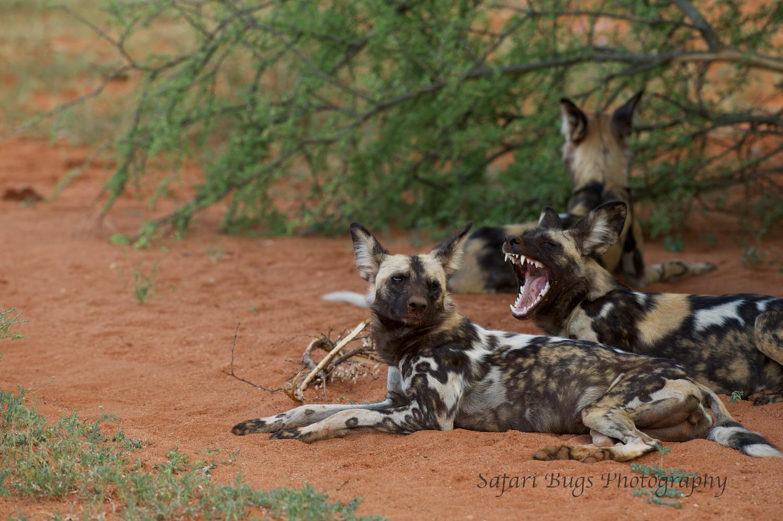 Mateya Wild Dog (2).jpg