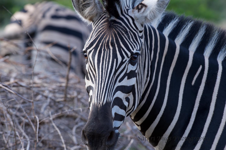 Mateya Zebra.jpg