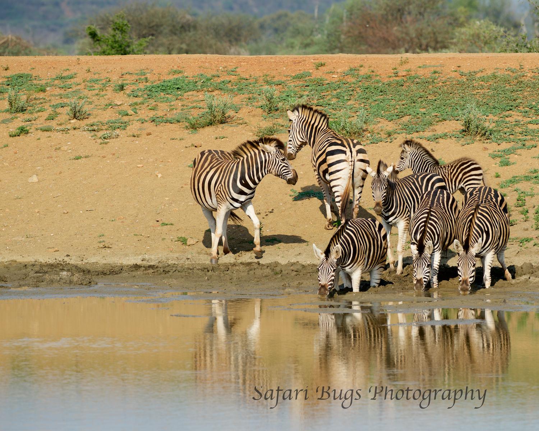 Mateya Zebras.jpg