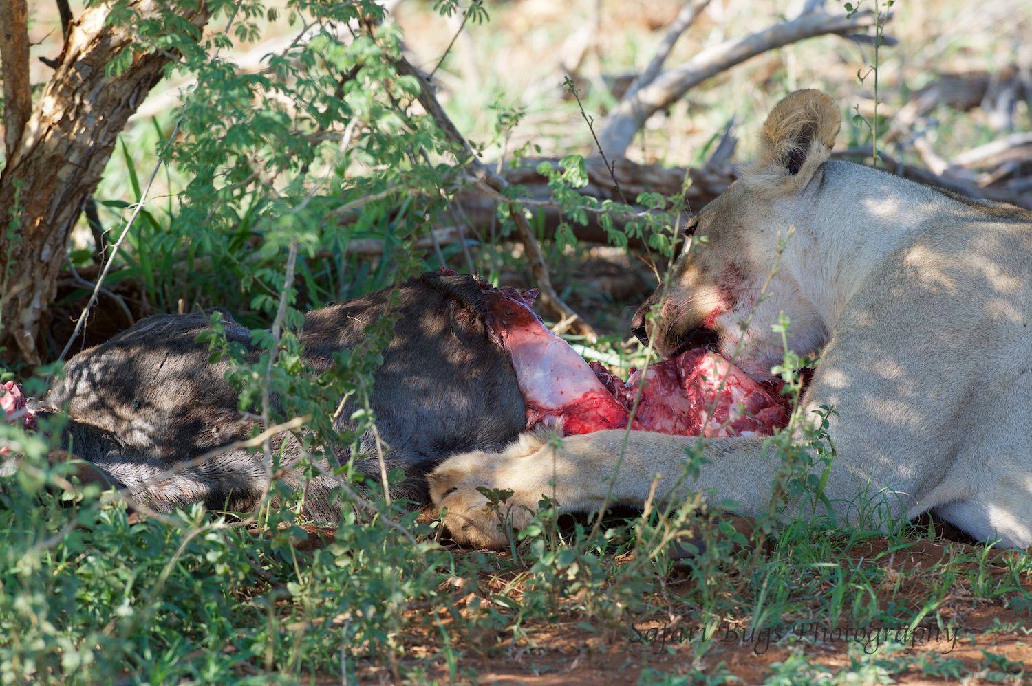 It started with one lioness eating and one sitting in the shade.