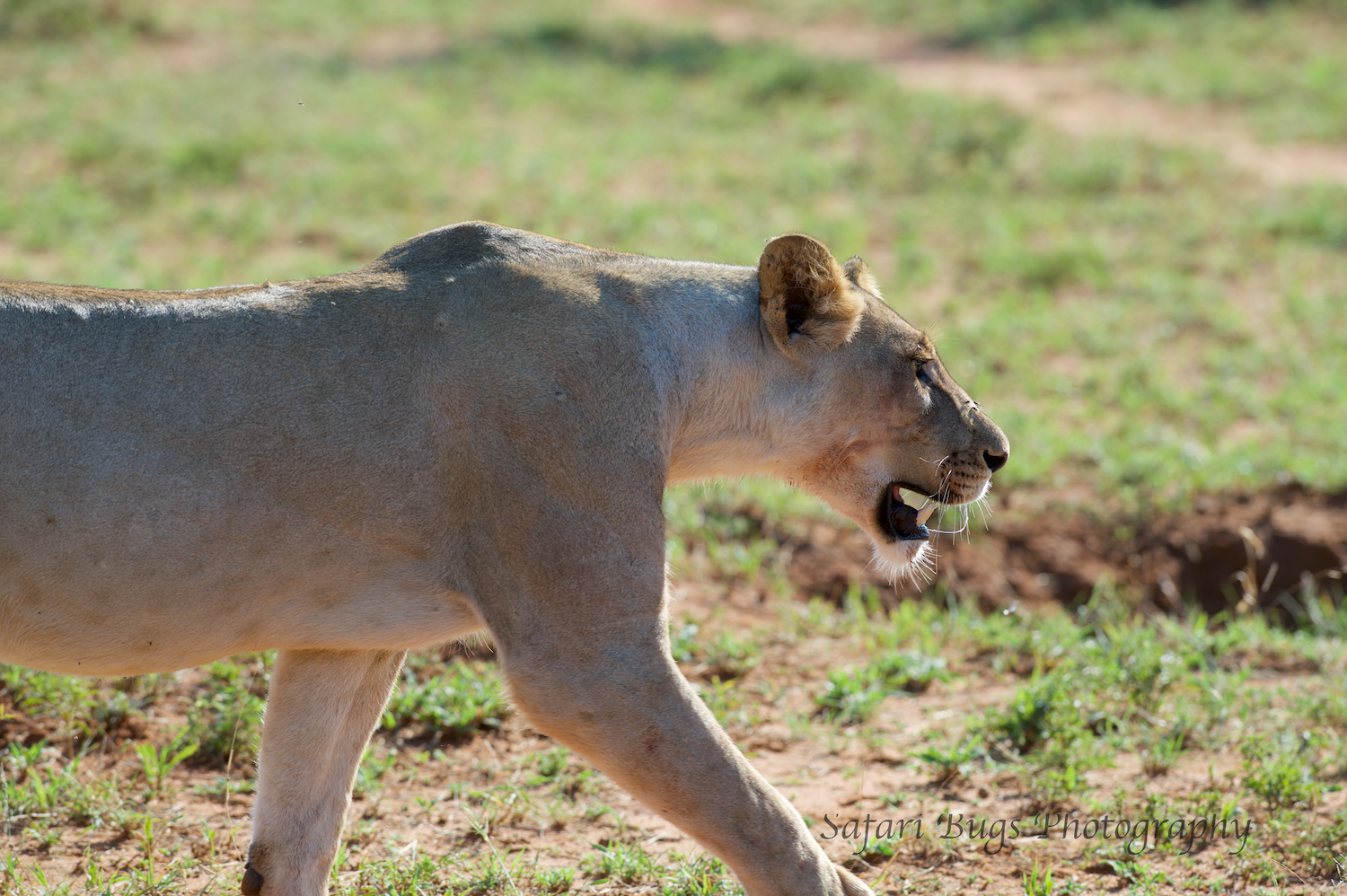 But the Jackal became distracted (or pretended to be) by some birds and ran off. And, the second lioness followed as did the one having breakfast.