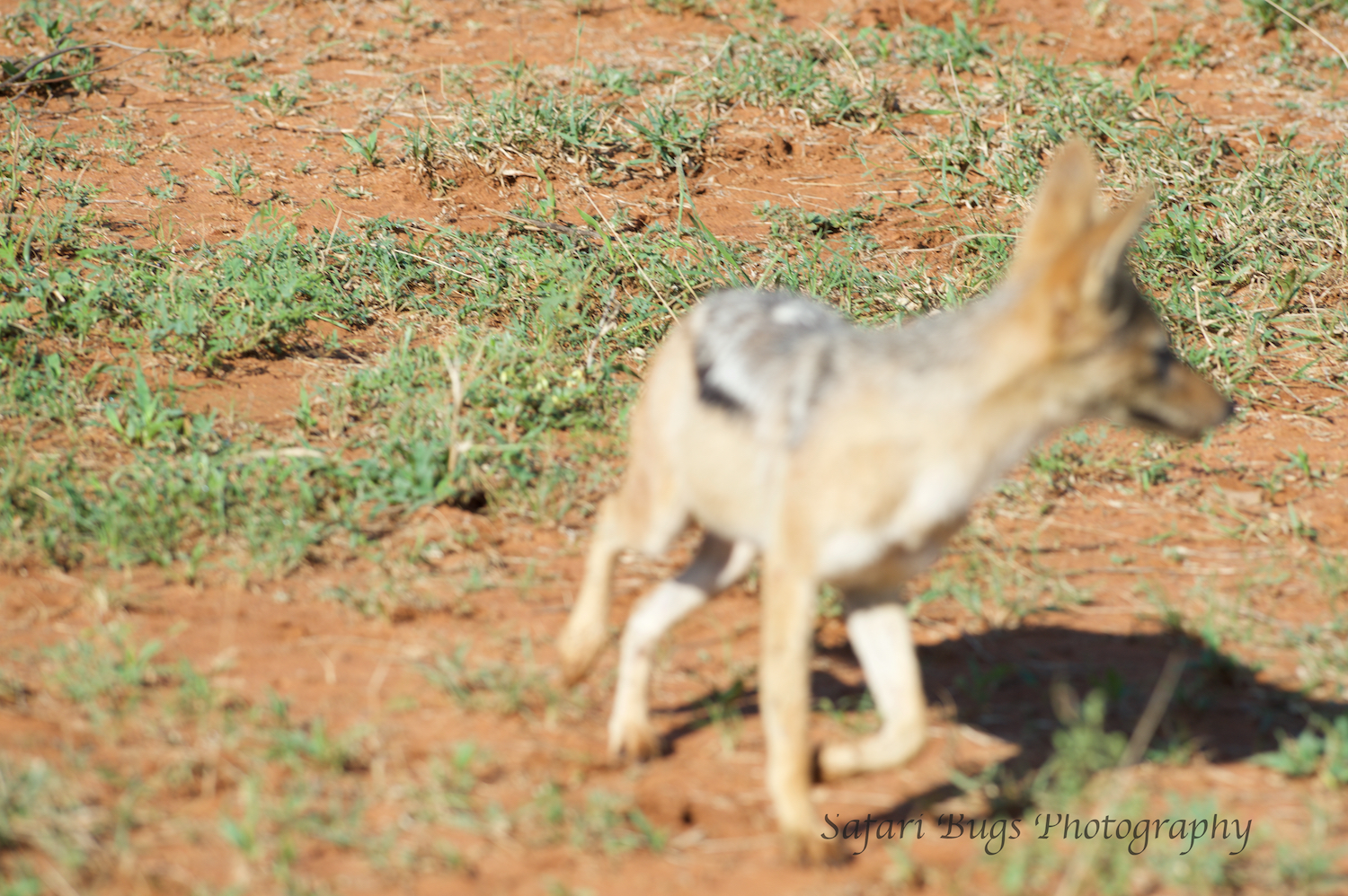 Upon seeing the lionesses on the move, the jackal double backed quite quickly to get the kill which was now unwatched by the lionesses. (not the best photo, but gets the point across)