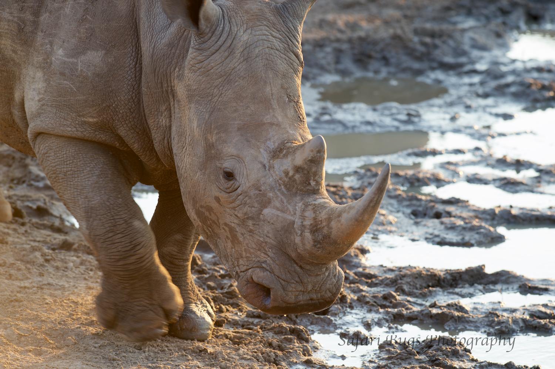 Mateya Rhino.jpg