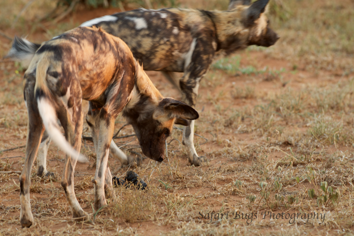 Sometimes a story takes days to emerge.  You need to go back to the same animal time and time again.  This time it was the wild dogs.  And, the hard work paid off as they decided to hunt.  Here they are smelling the ground looking for a scent.