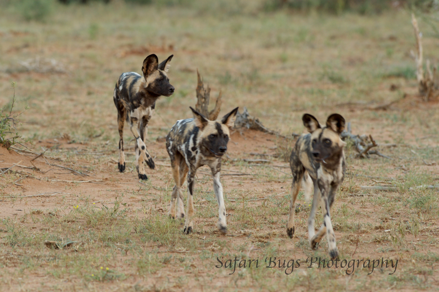 It's hard to follow wild dogs on the move and even harder to get a clear photo as they are constantly moving.