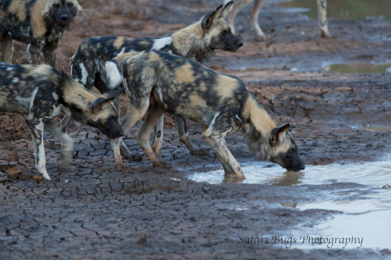 Mateya Wild Dogs (7).jpg