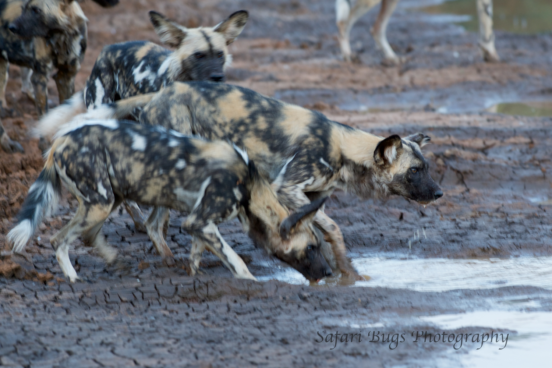 Mateya Wild Dogs (8).jpg