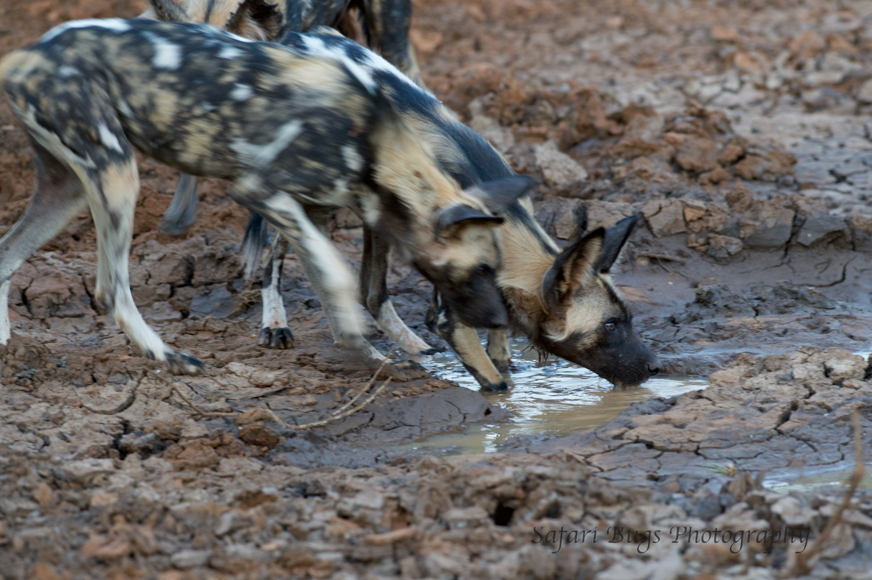 Mateya Wild Dogs (9).jpg