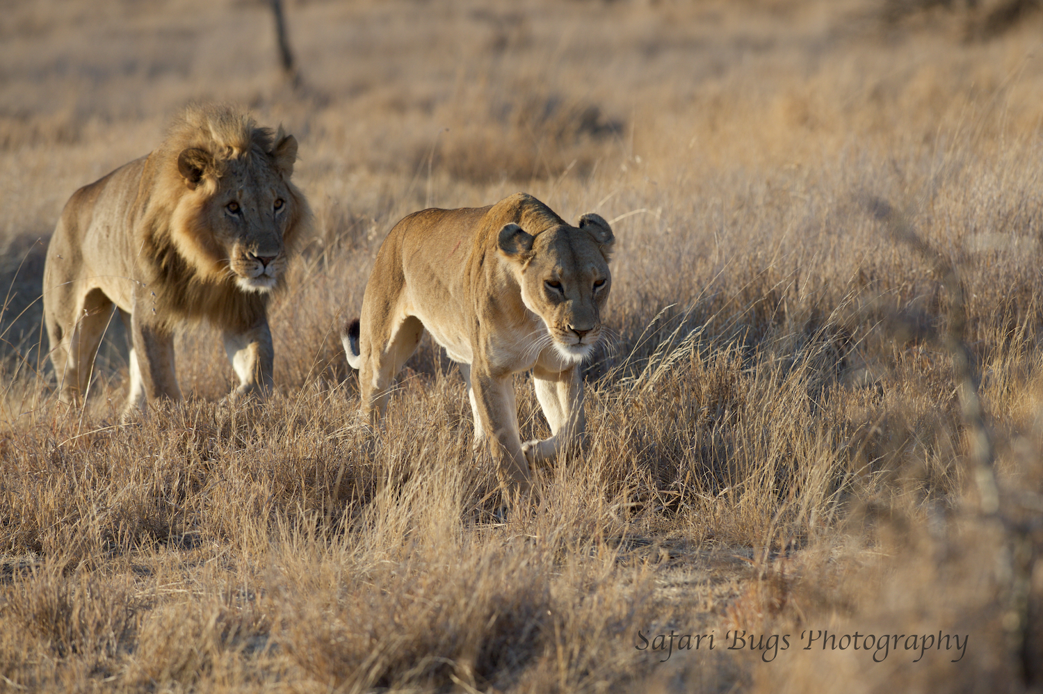 Lion Courting Lioness