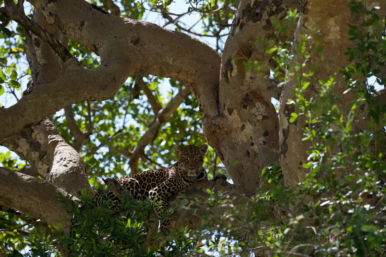 Safari Bugs Bushtops Leopard (2).jpg