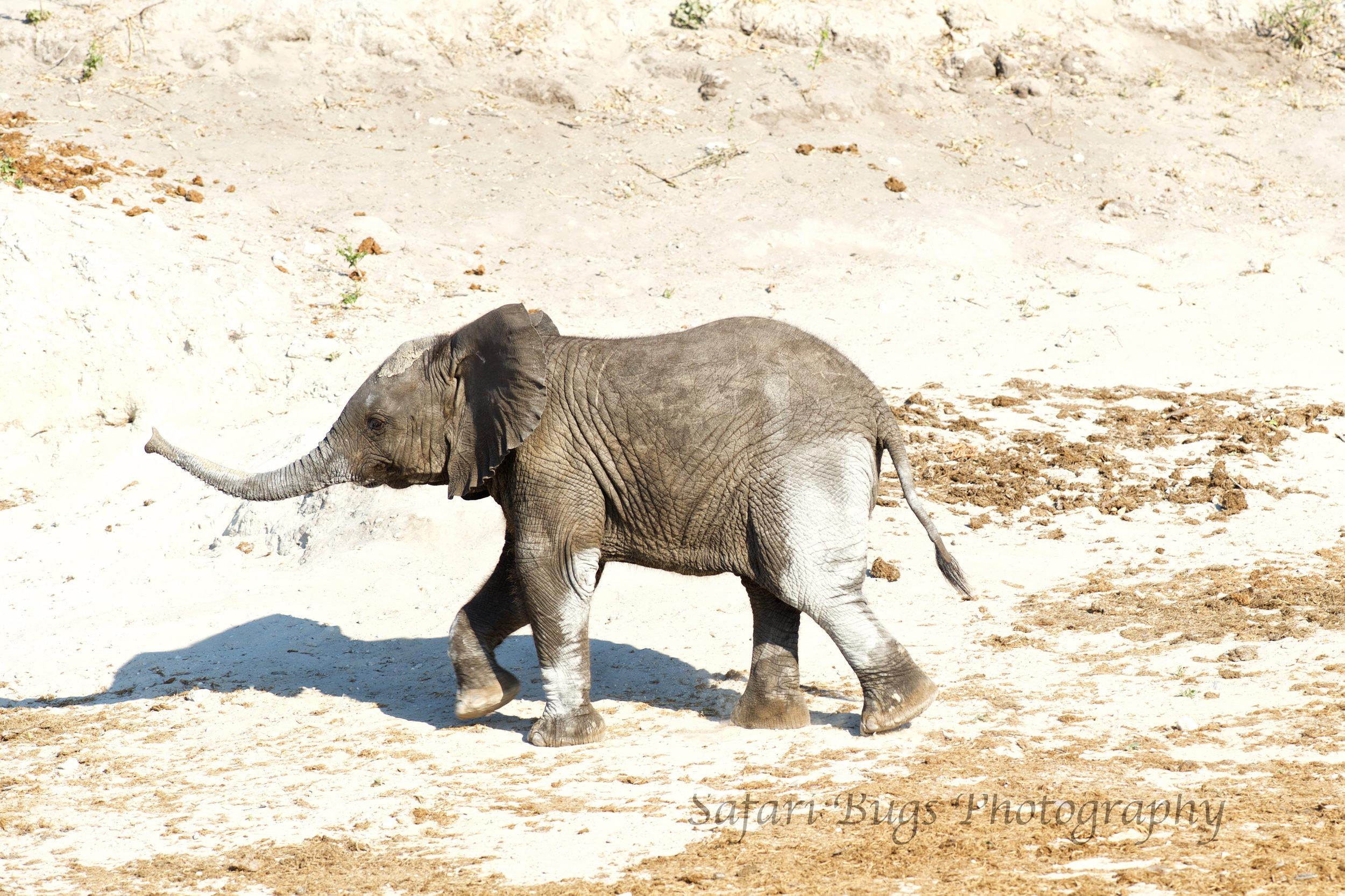 Chobe Game Lodge Elephant.jpg
