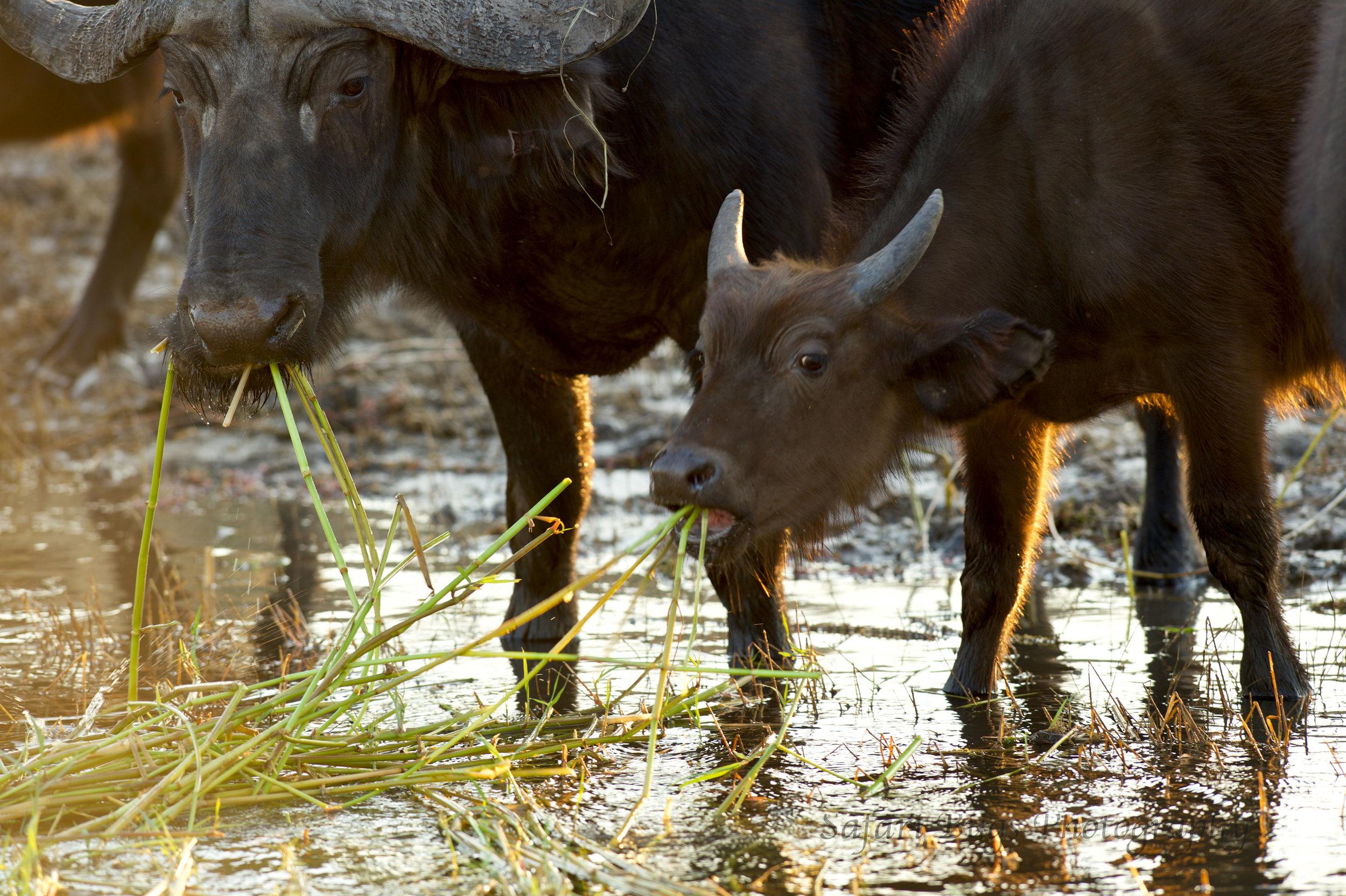 Chobe Game Lodge buffalo.jpg