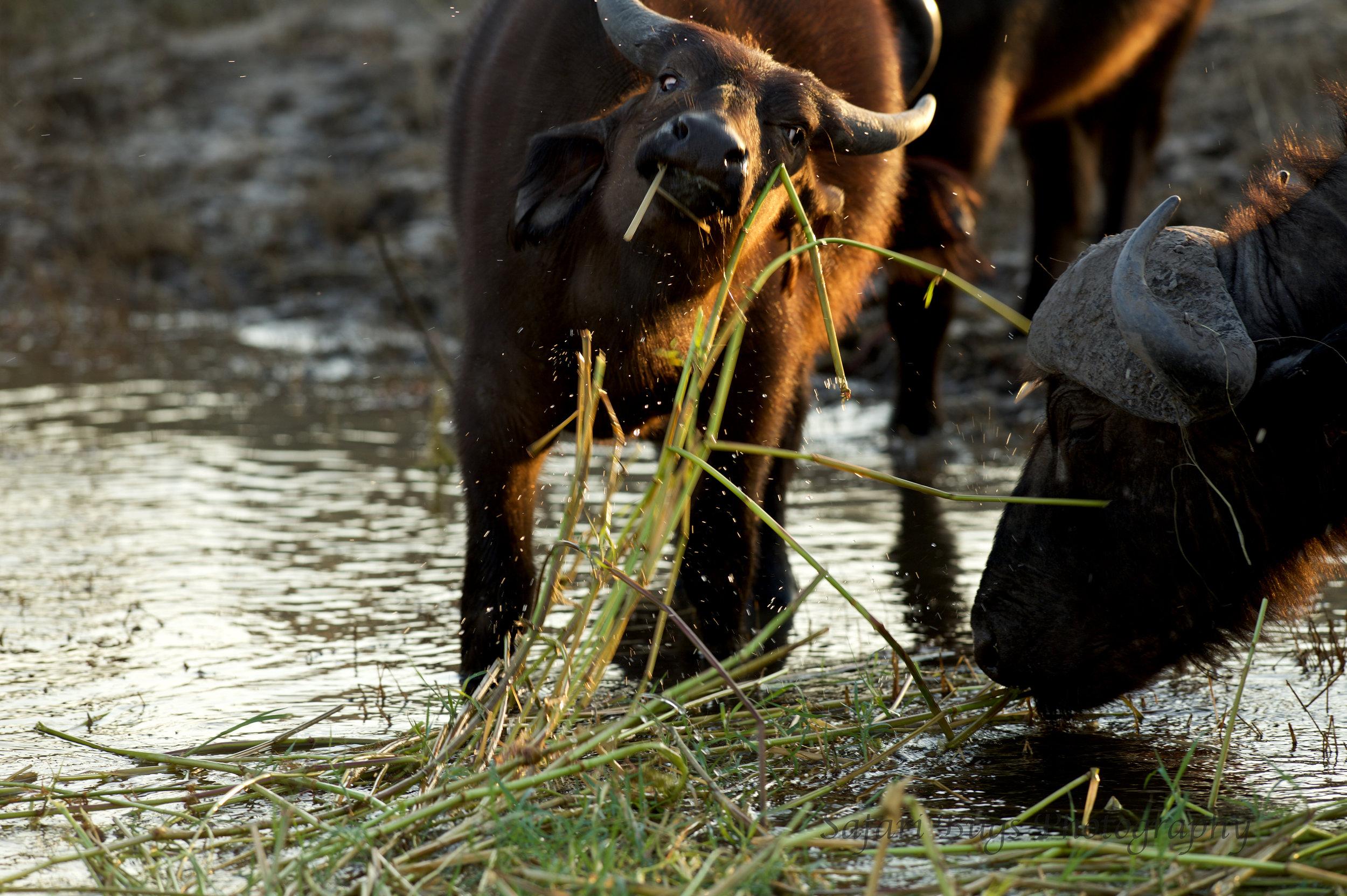 Chobe Game Lodge buffalo (4).jpg