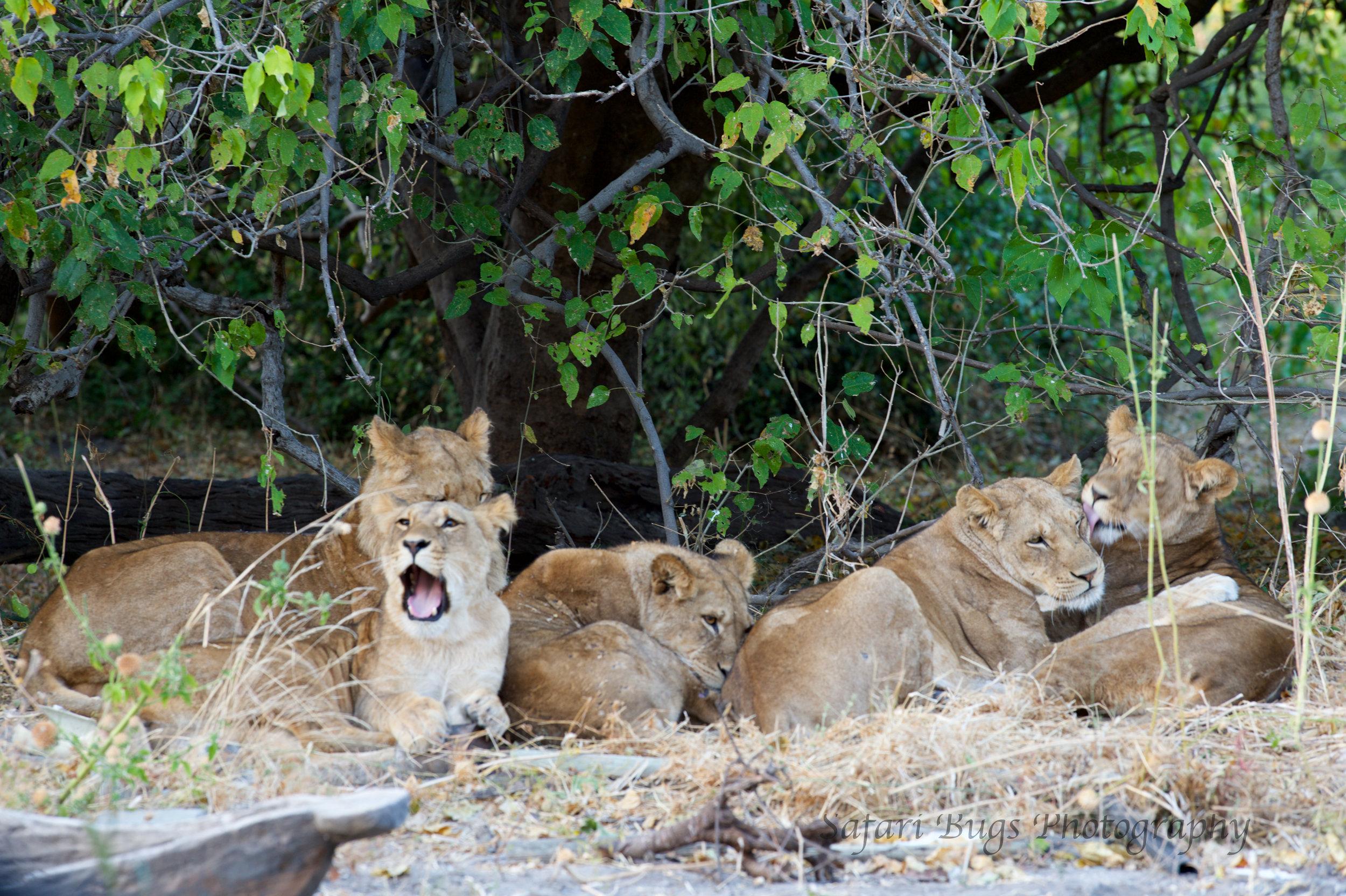 Chobe Game Lodge lion.jpg