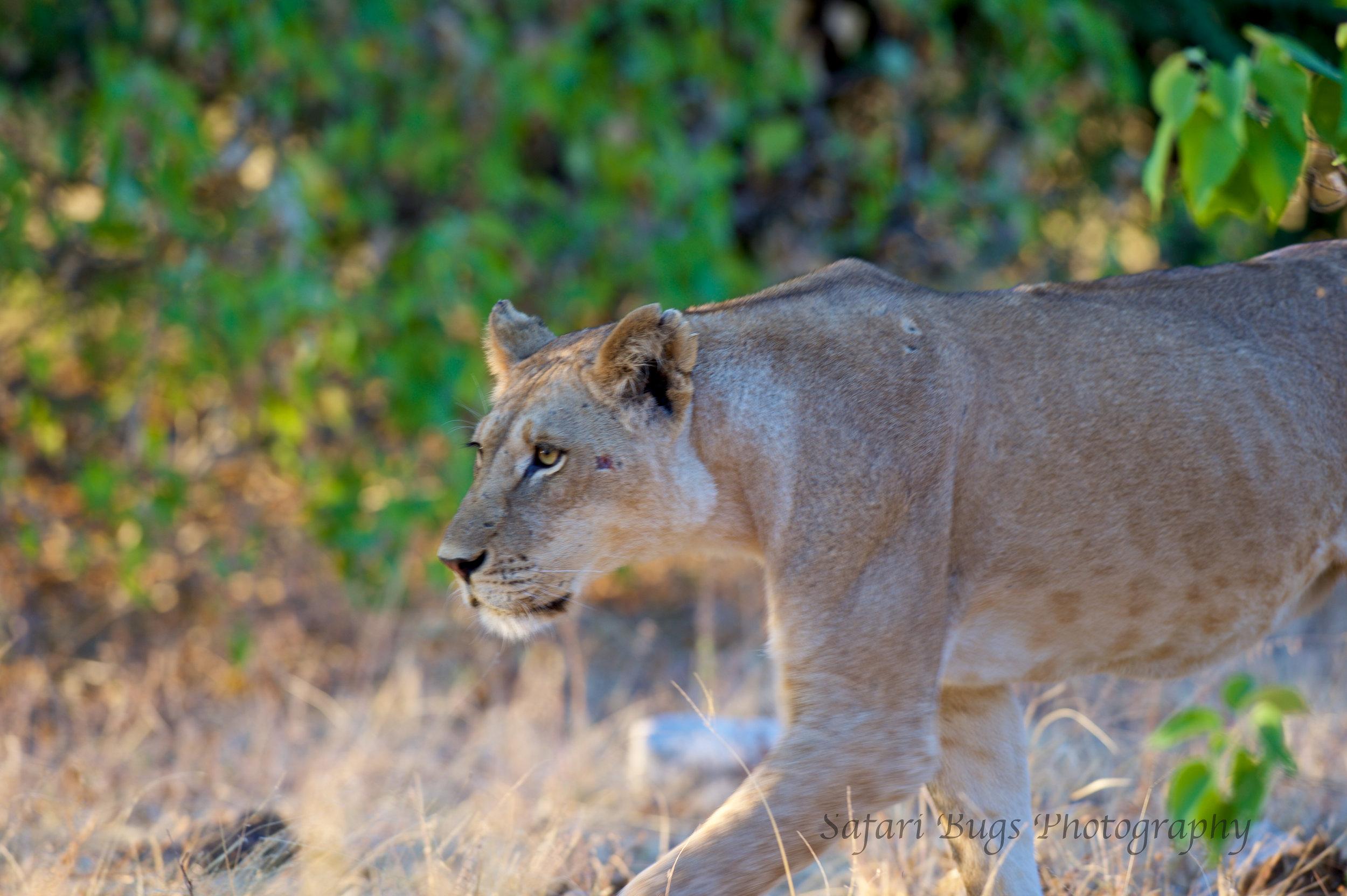 Chobe Game Lodge lion (1).jpg
