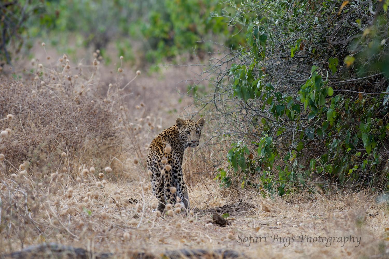 Chobe Game Lodge Leopard.jpg