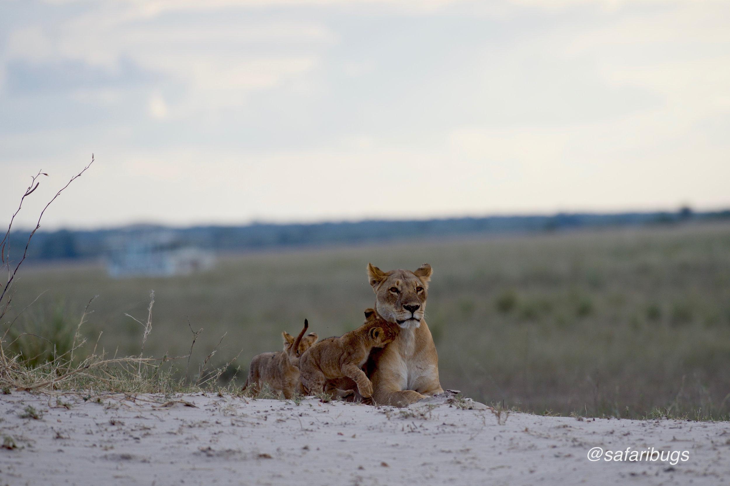 Chobe Game Lodge Lions4.jpg