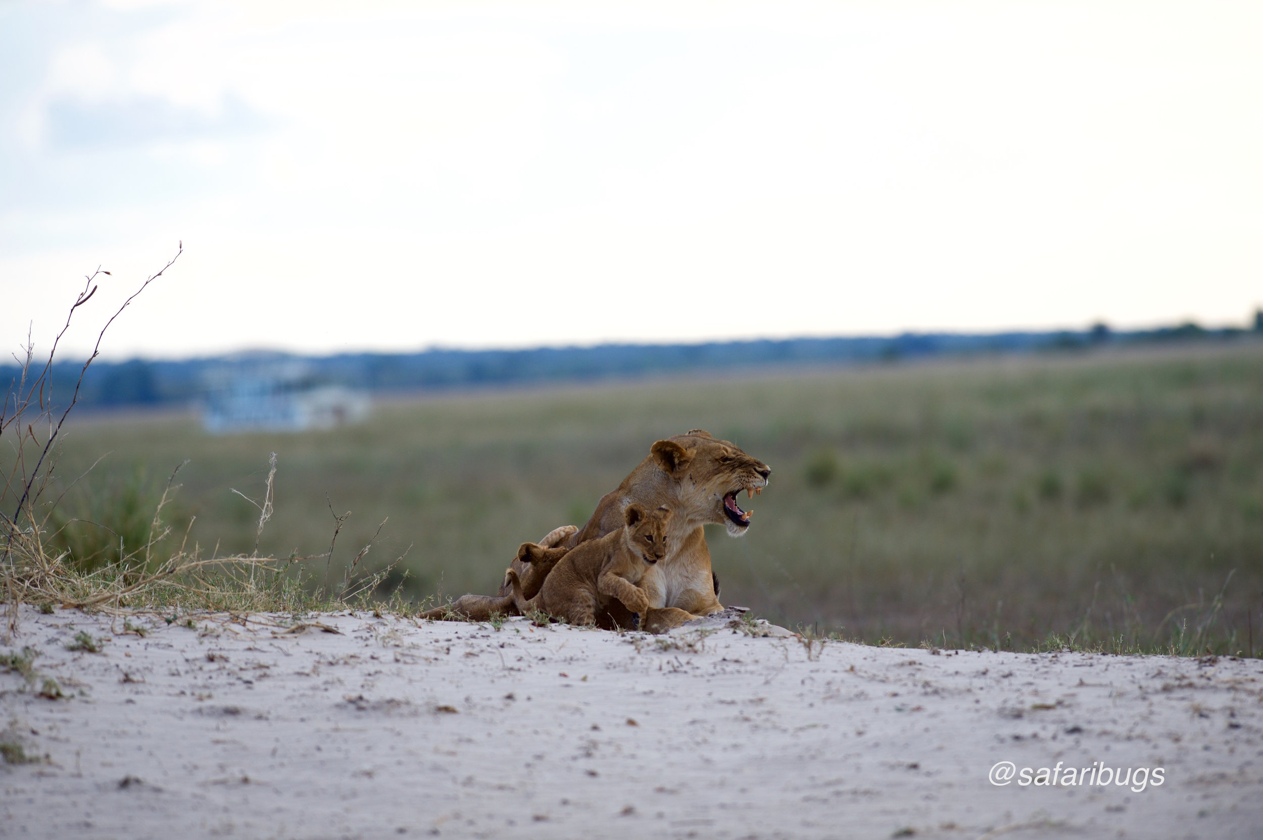 Chobe Game Lode Lions5.jpg
