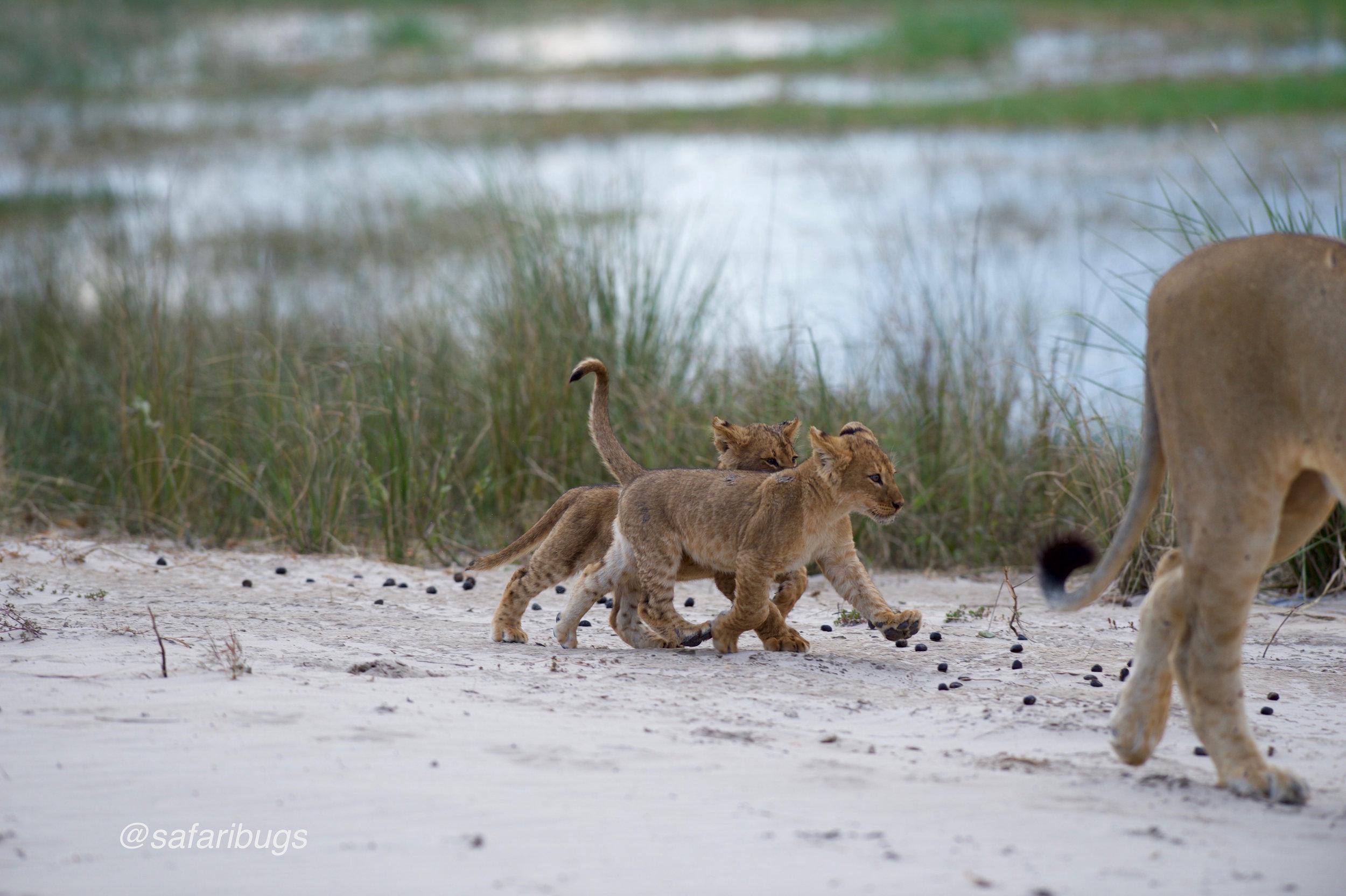 Chobe Game Lodge Lions7.jpg