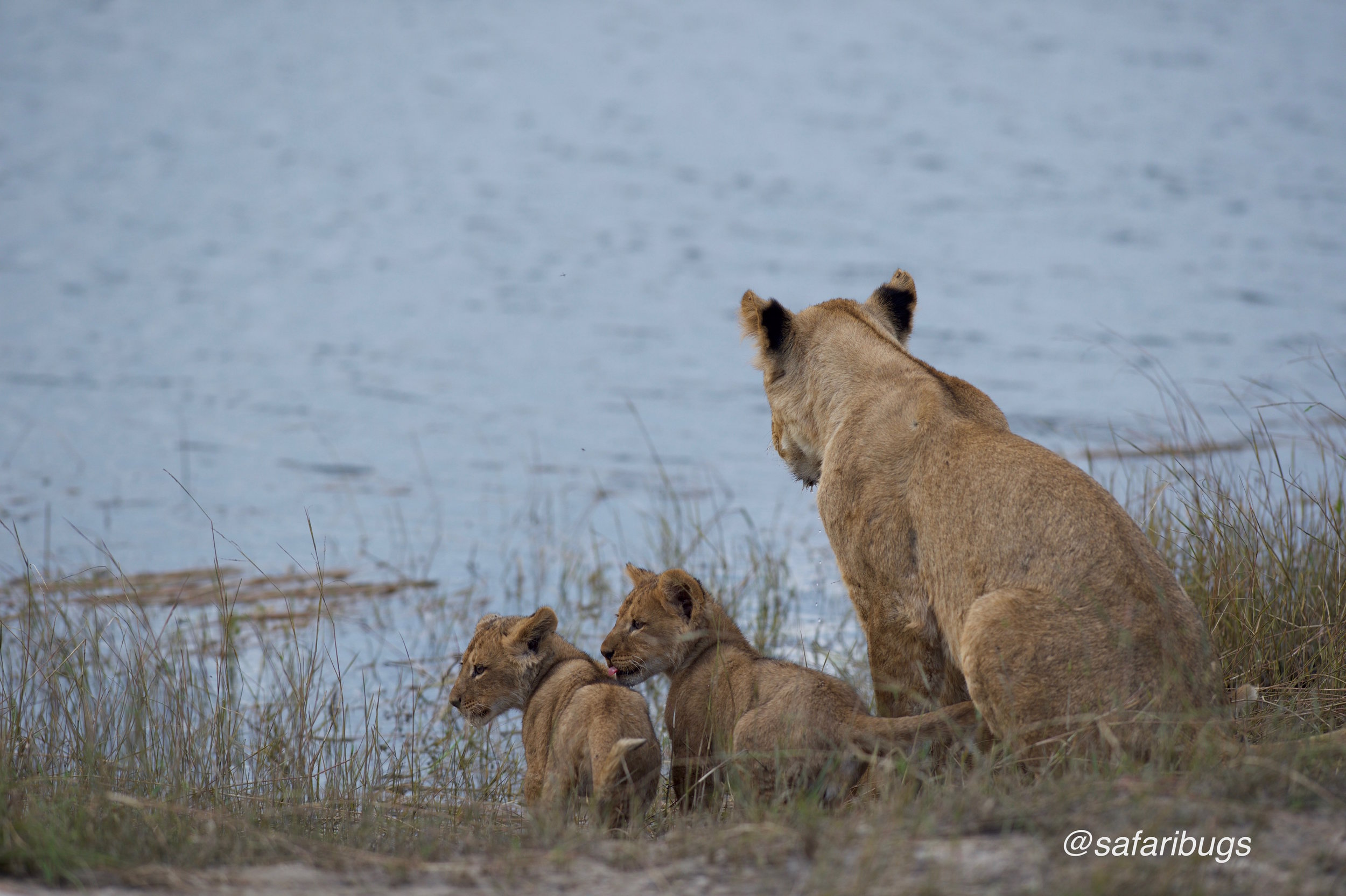 Chobe Game Lodge Lions9.jpg
