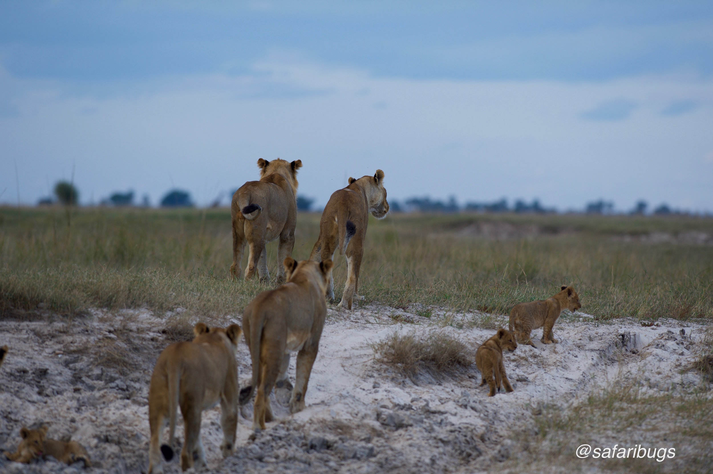 Chobe Game Lodge Lions11.jpg