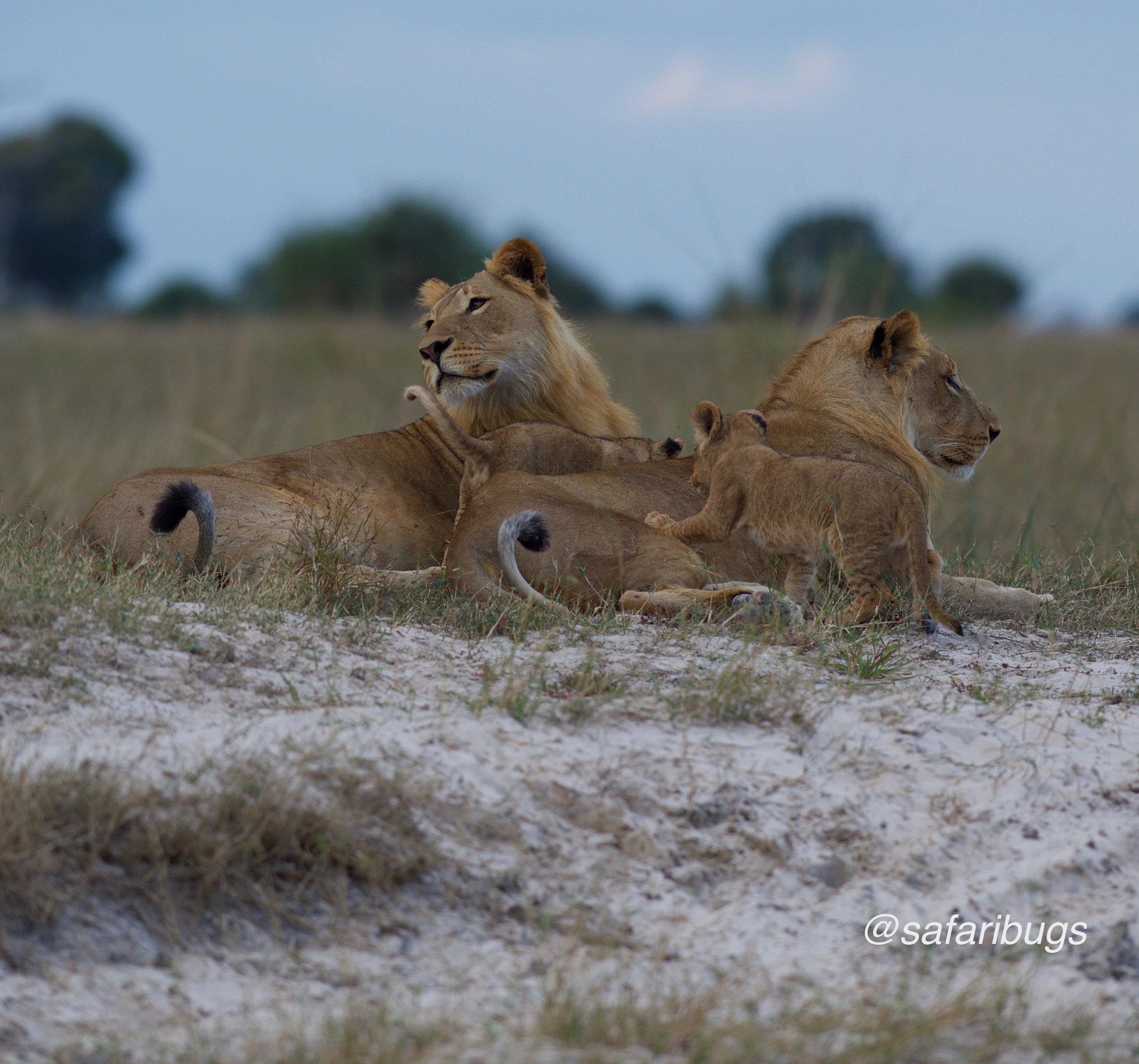 Chobe Game Lodge Lions12.jpg