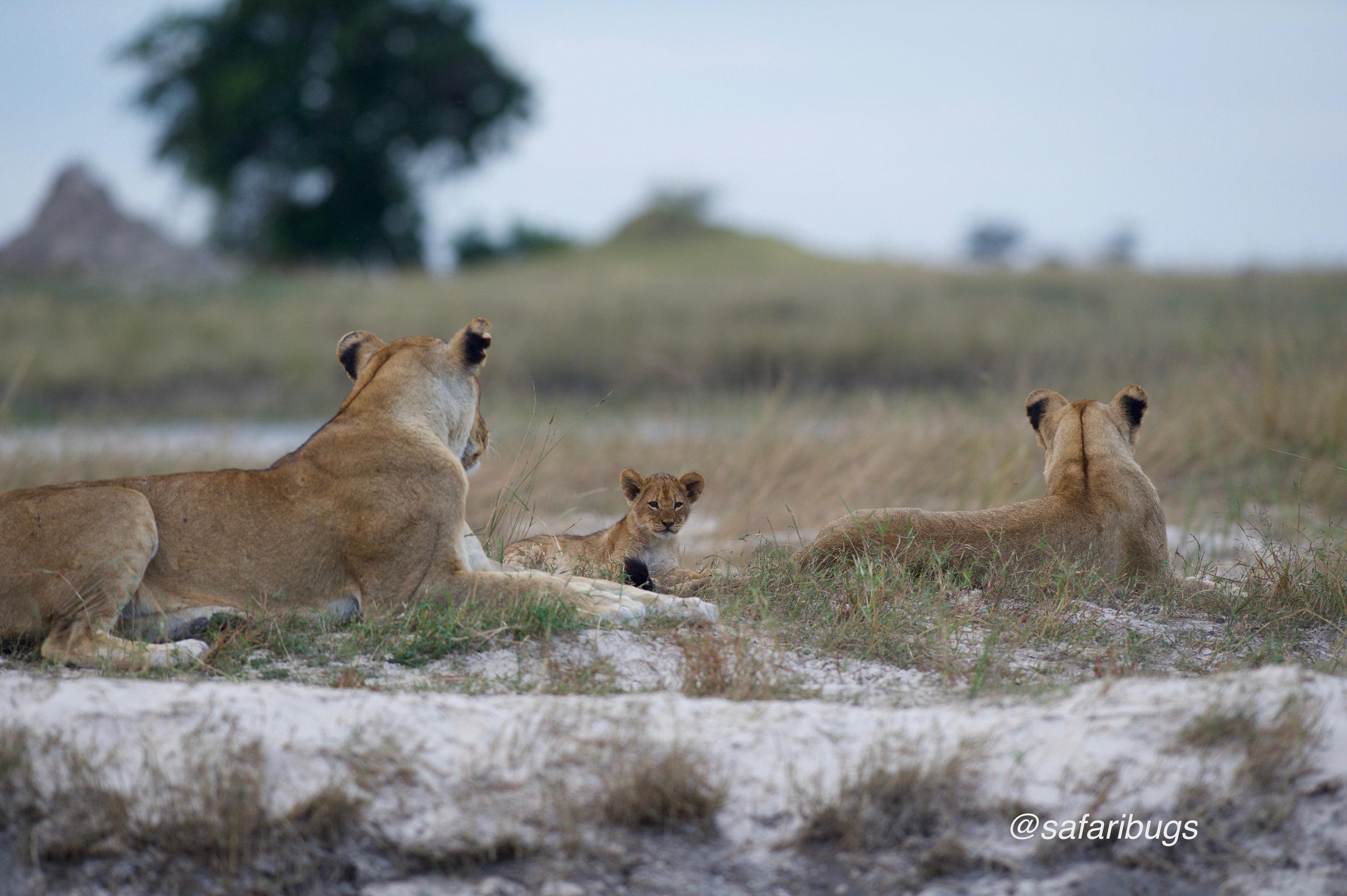 Chobe Game Lodge Lions13.jpg