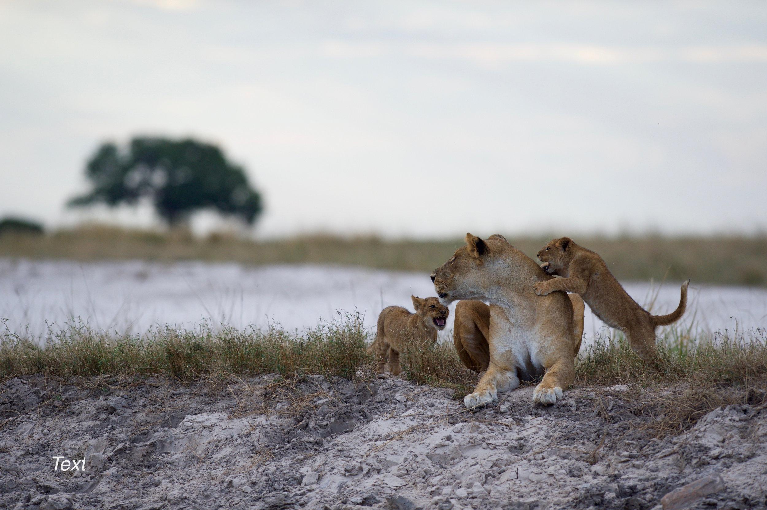 Chobe Game Lodge Lions14.jpg