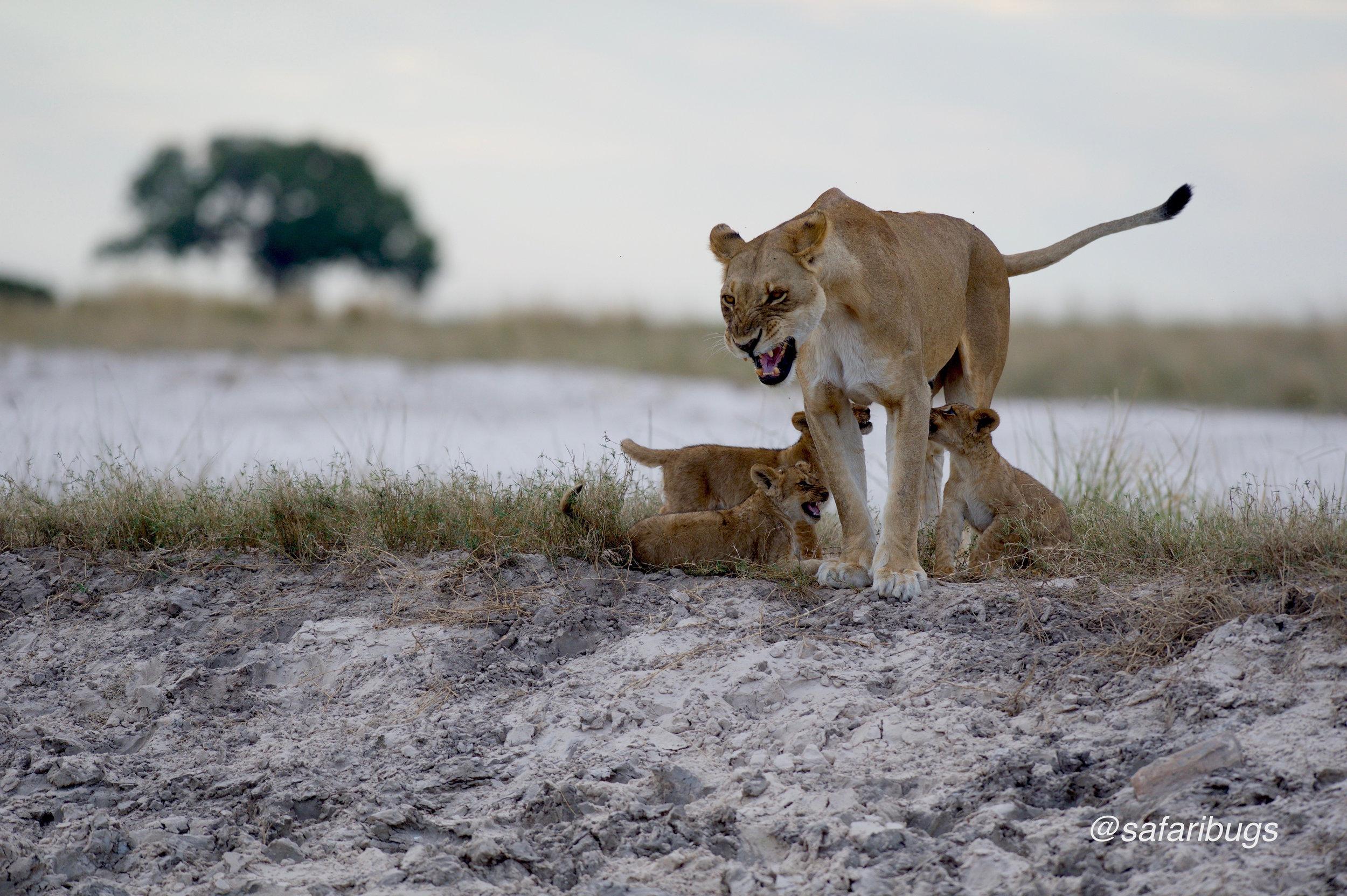 Chobe Game Lodge Lions15.jpg