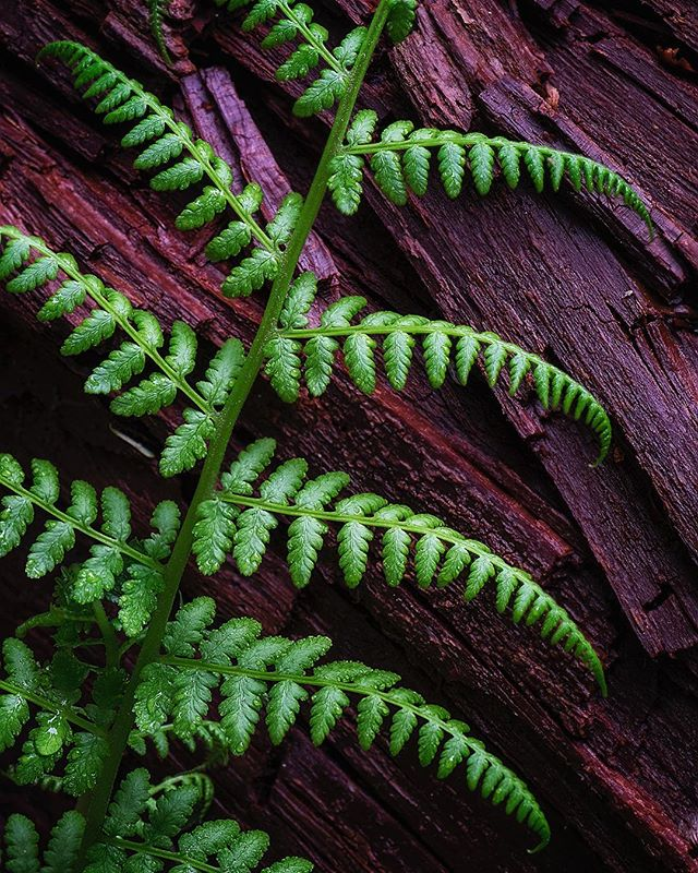 Up close and personal in the Hoh Rainforest... #rainforest #closeup #olympicnationalpark #olympicpeninsula #fern #cedar #hohrainforest #pnw #macro