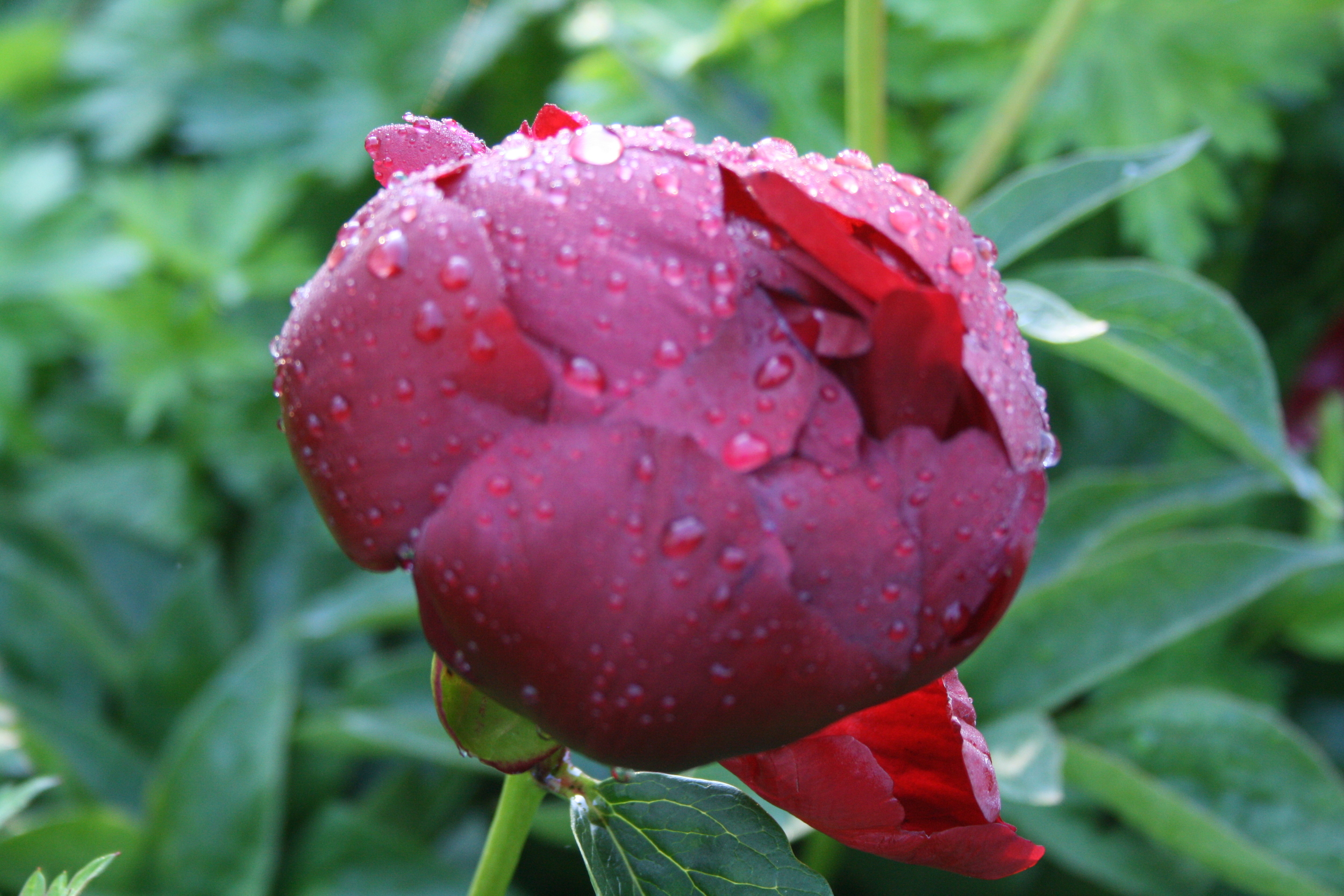 Peonies are some of Kær's favorite flowers, especially after a good night of rain.