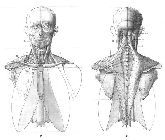 https://www.pinterest.ie/characterdesigh/character-anatomy-neck/