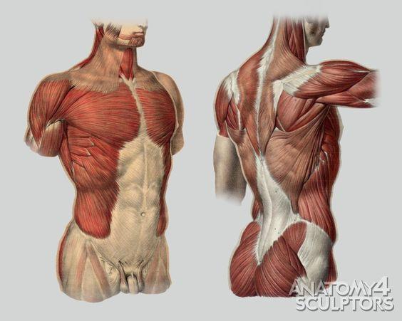 https://www.pinterest.ie/characterdesigh/character-anatomy-torso/