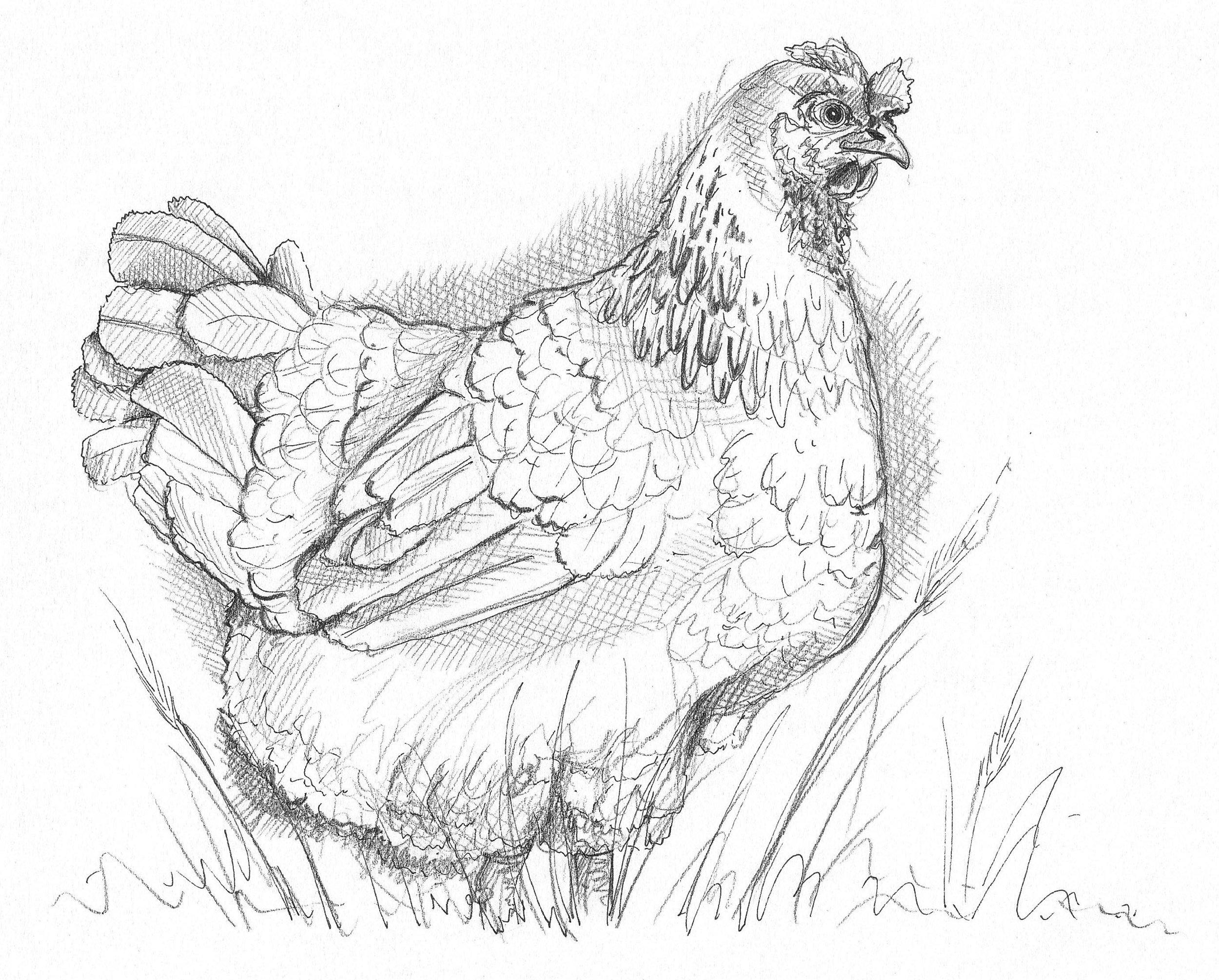 hannah-weeks-pencil-drawing-chicken.jpg