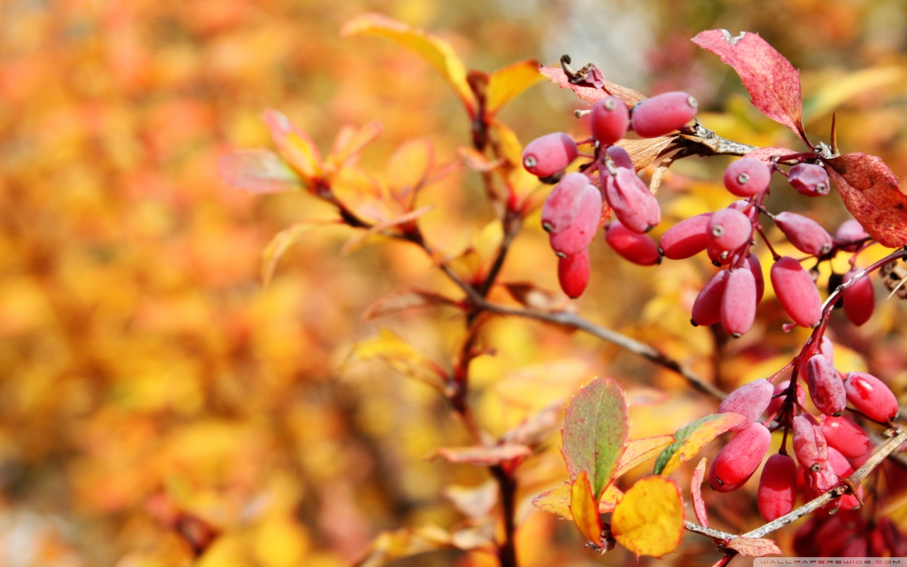 autumn_red_fruits-wallpaper-1280x800.jpg