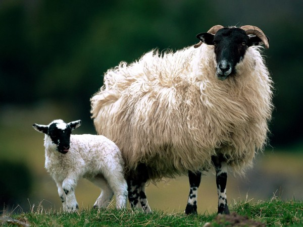 Harris Sheep w baby.jpg