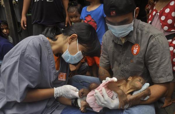 Eerste orang-oetans baby gered door het nieuwe team: APE Guardian