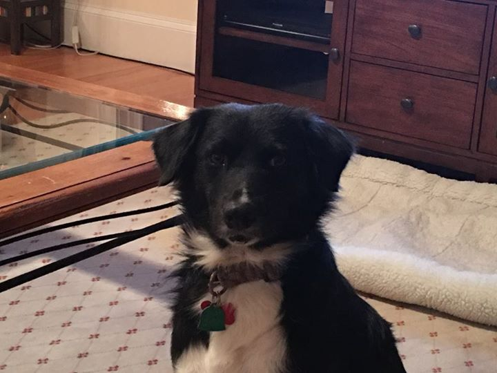 We adopted our little boy Tommy last month from Freedom Street Rescue. We are so happy to have him in our family! Tommy now lives in Massachusetts and is a Patriots Fan! We had such a good experience working with Rhonda and Karoline throughout the adoption process! Thank you!