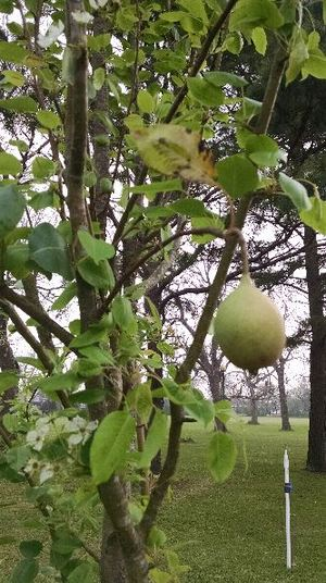 pears-orchard-mar-2016-a.jpg