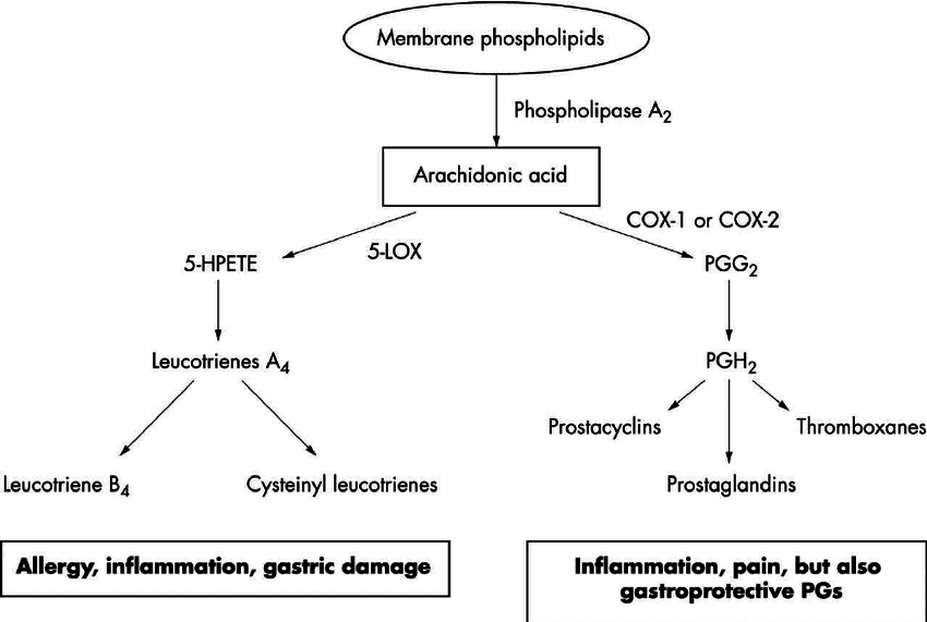 Remember: arachidonic acid -> cyclooxygenase (COX)/ Lipoxygenase —> INFLAMMATION!  (Image)