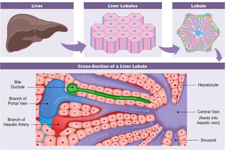 Liver structure, ooo la la lobules! ( Image )